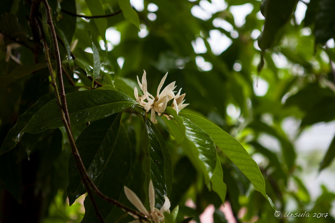 flowers on a Champak (Magnolia champaca) tree, Mae Hong Son Thailand