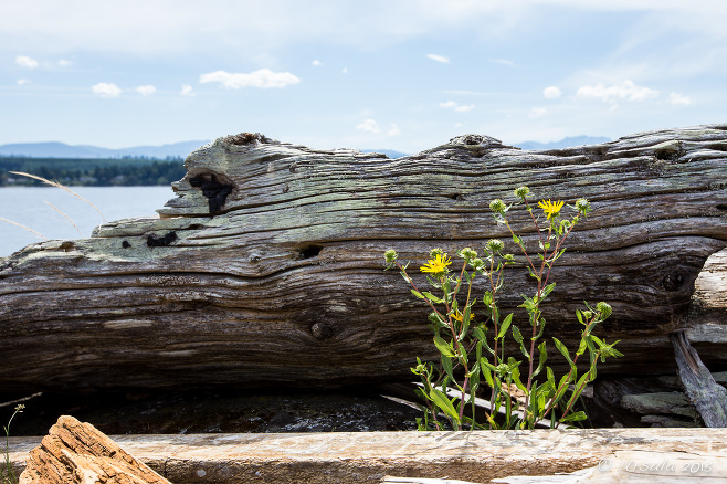 Driftwood and Entire-leaved Gumweed, Beachcomber Regional Park, Nanoose BC