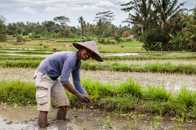 A man planting rice in a Balinese field, Ubud