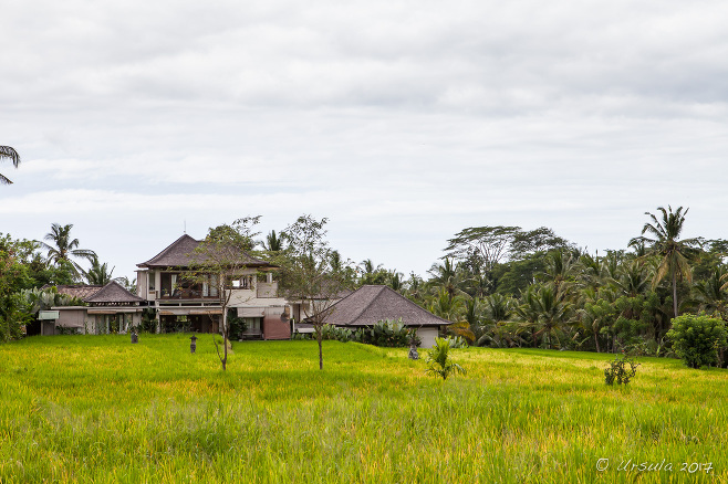 Balinese Rice fields, Ubud Indonesia