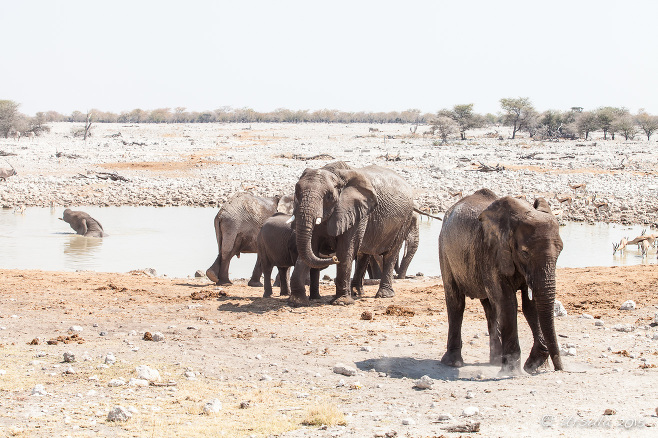 Elephants at the Waterhole, Etosha National Park, Namibia.