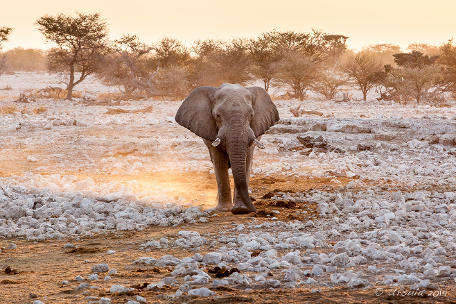Bull Elephant in the afternoon light,Etosha National Park, Namibia.