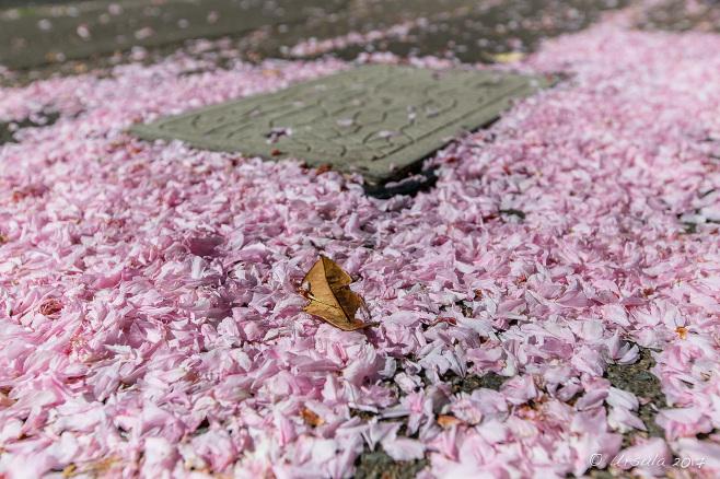 Pink petals on a sidewalk, Katoomba, Australia