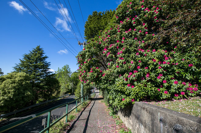 Rhododendrons in flower on the Lurline St, Katoomba, Australia
