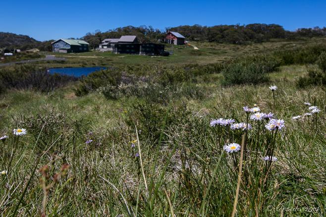 Tufted Daisies (Brachyscome scapigera) on the Hillside, Porcupine Rocks Track, Kosciuszko National Park AU