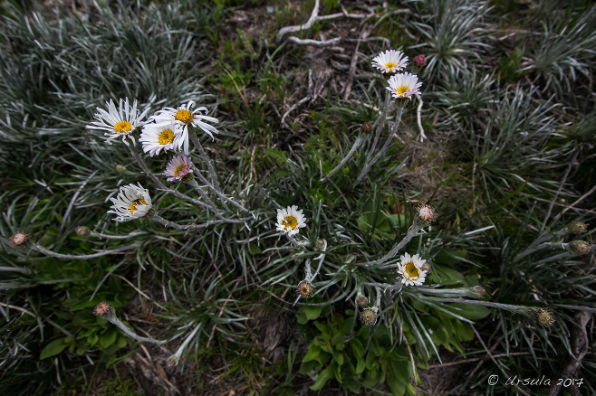 Silver Snow Daisies Celmisia Astelifolia, Charlotte Pass, AU