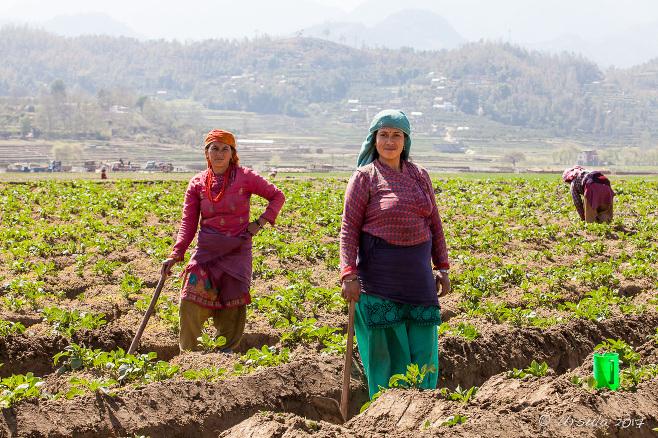 Nepalese women pause from their work in a potato field, Panauti-Namobuddha Nepal