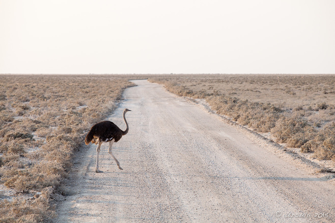 Ostrich crossing a gravel road, Etosha National Park, Namibia