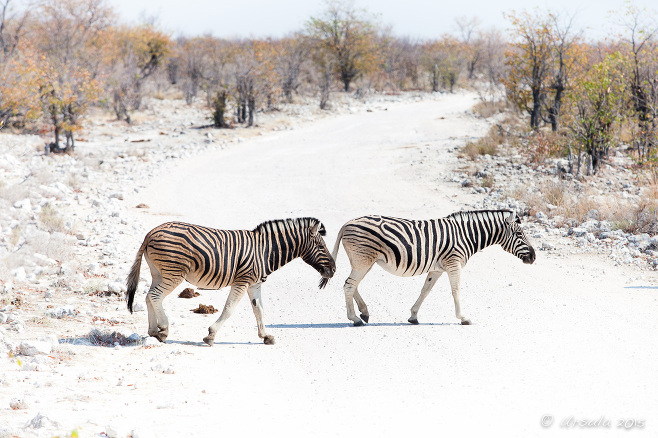 Two zebras crossing a gravel road< Etosha National Park Namibia